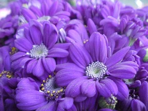 fiori-viola
